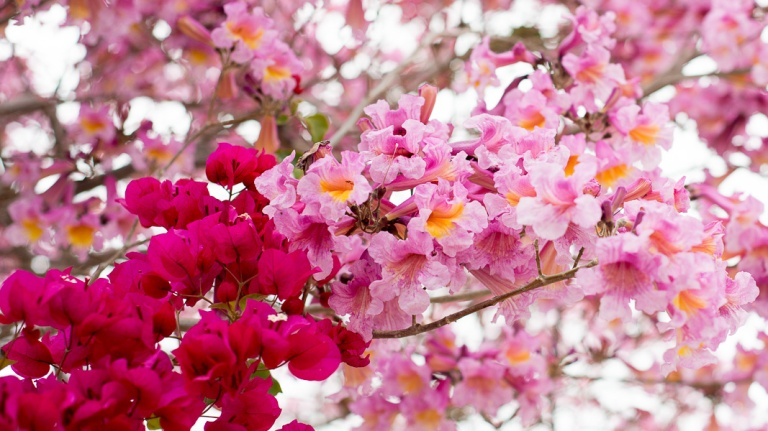 Photo Credit: http://thehorticult.com/tabebuia-impetiginosa-a-pink-postcard-from-the-caribbean/